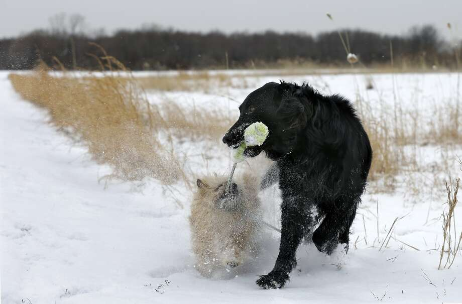 I'll freeze to death before I let go: Two dogs and one toy result in an impasse in Robbinsville, N.J. Photo: Mel Evans, Associated Press