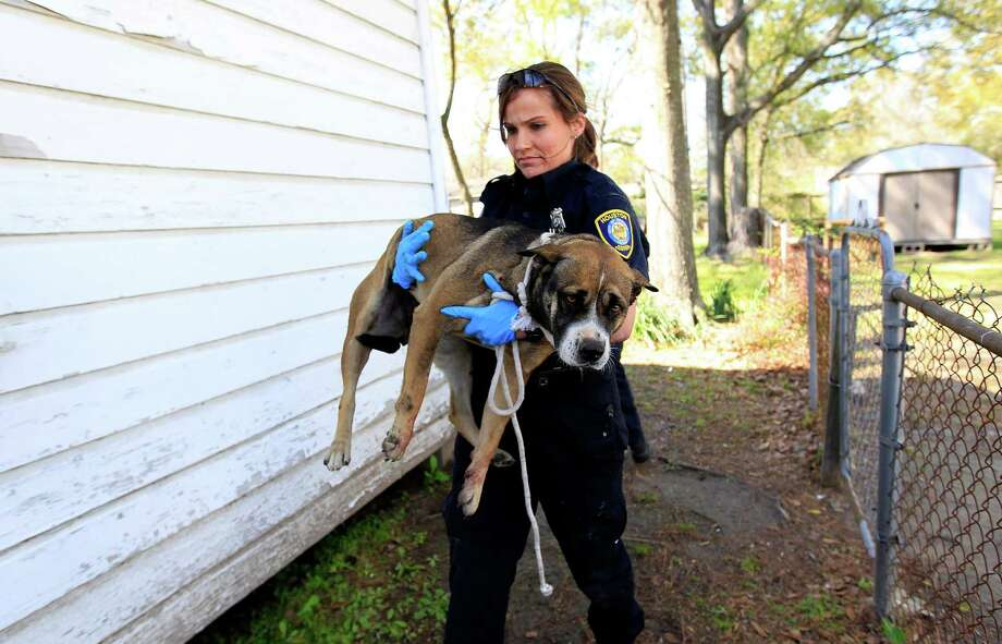 Animal control officer Laura Price carries a wounded dog to her truck Monday. Photo: Karen Warren, Staff / © 2014 Houston Chronicle