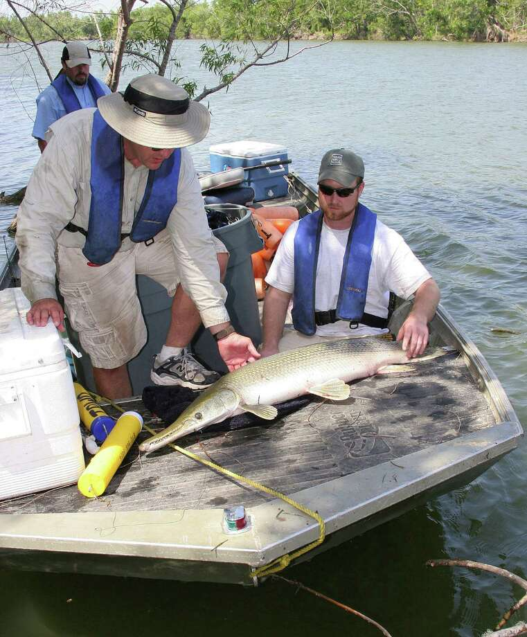 "Research indicates alligator gar, the largest freshwater fish in Texas, are not the fishery-destroying predators some recreational anglers believe them to be. The fish feed almost exclusively on shad, buffalo, carp and other ""rough"" fish. Photo: Shannon Tompkins, Staff / Houston Chronicle"