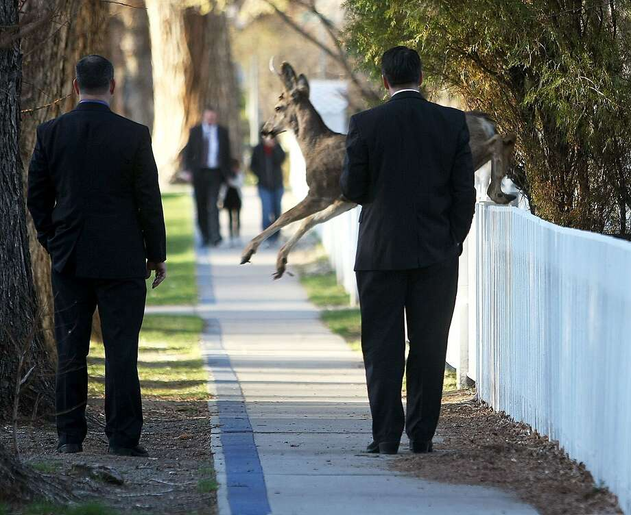 A deer jumpsin front of Nevada Gov. Brian Sandoval (right) during his walk to work from   the governor's mansion in Carson City, Nev. Fortunately he was able to brake in time and   avoid a collision. Photo: Shannon Litz, Associated Press