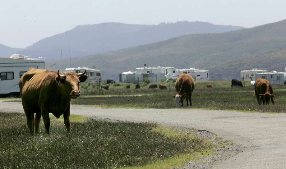 In this file photo, cattle roam through the campground area of Lawson's Landing...they keep the weeds down and feed on the wild grasses that grow between the large sand mountains.