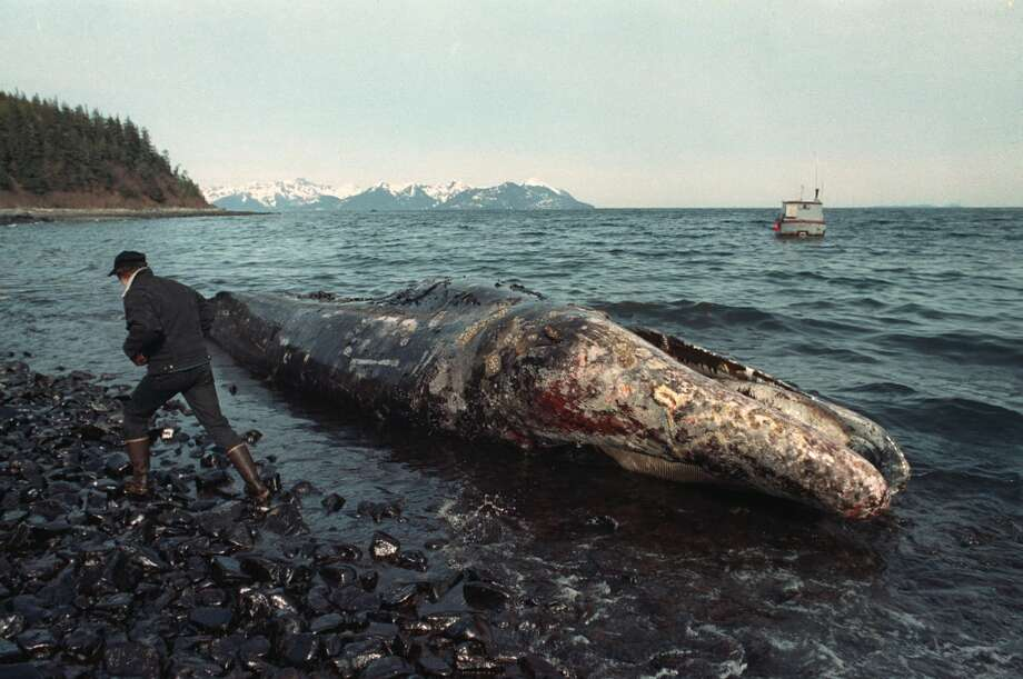 In April 1989, a local fisherman inspects a dead California gray whale on the northern shore of Latouche Island, Alaska.  The whale was found over the weekend in the oil-contaminated waters of Prince William Sound. Wildlife experts later determined that the whale had died before the Exxon Valdez oil spill occurred on March 24.  Nearly 25 years after the Exxon Valdez oil spill off the coast of Alaska, some damage heals, some effects linger in Prince William Sound. Photo: John Gaps III, AP