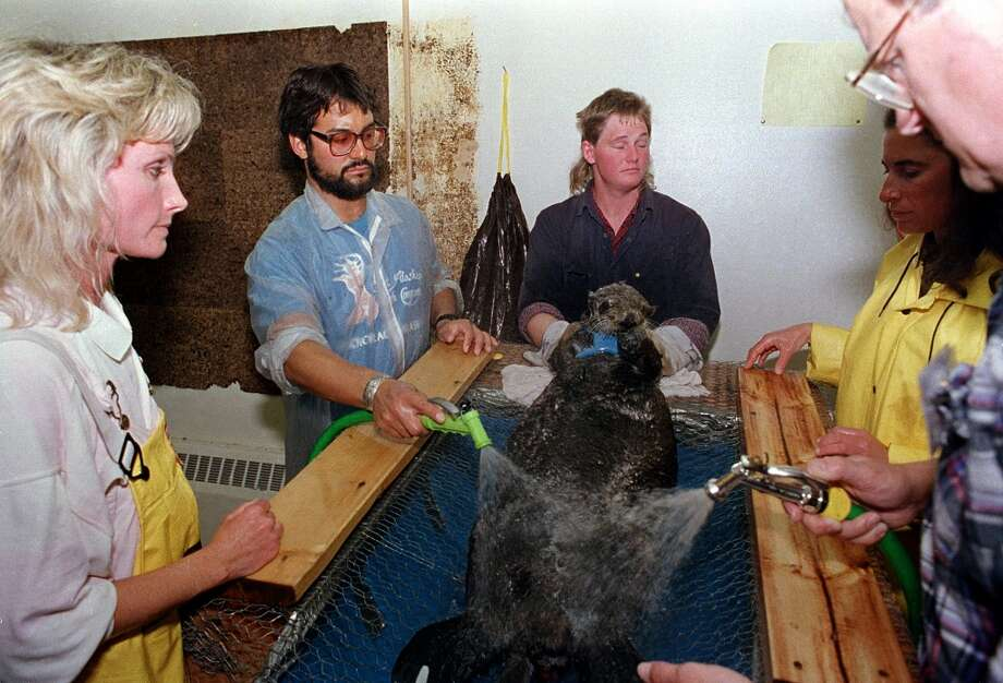 In April 1989, a rescued sea otter is restrained and washed by workers at a local animal facility after five of the oil covered mammals were captured in the fouled waters of Prince William Sound, Alaska. The list of animals injured and killed from the spill of the oil tanker Exxon Valdez includes sea otters, deer, eagles, owls and a host of other water fowl gathered up by rescue workers. Nearly 25 years after the Exxon Valdez oil spill off the coast of Alaska, some damage heals, some effects linger in Prince William Sound. Photo: JOHN GAPS III, AP
