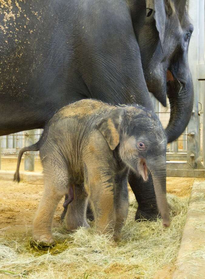 Baby animals at The Houston Zoo. Are you not happy to see Duncan? Photo: Johnny Hanson, Houston Chronicle