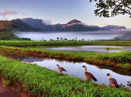 Nene, the endangered Hawaiian goose brought back from near-extinction, are seen here at dawn in the protected wetlands of the Hanalei Valley.