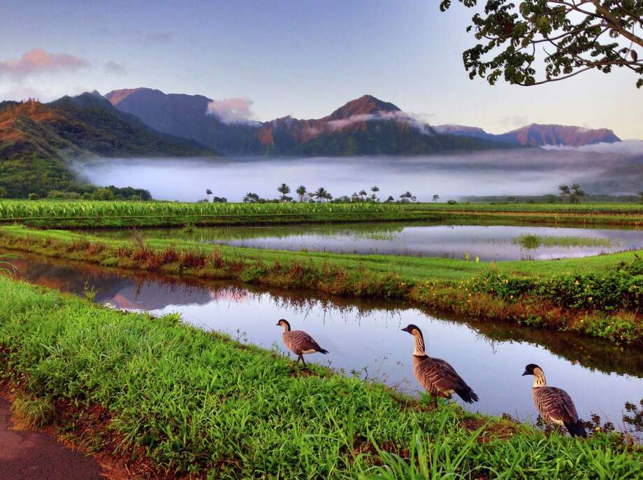 Nene, the endangered Hawaiian goose brought back from near-extinction, are seen here at dawn in the protected wetlands of the Hanalei Valley. Photo:  (c) Mike Lyons