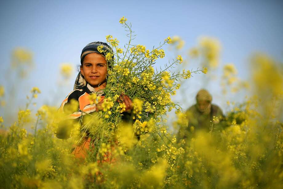 Cutting the mustard:A Palestinian girl and her father pick wild mustard flowers in an untilled field in the Gaza Strip. Photo: Mohammed Abed, AFP/Getty Images