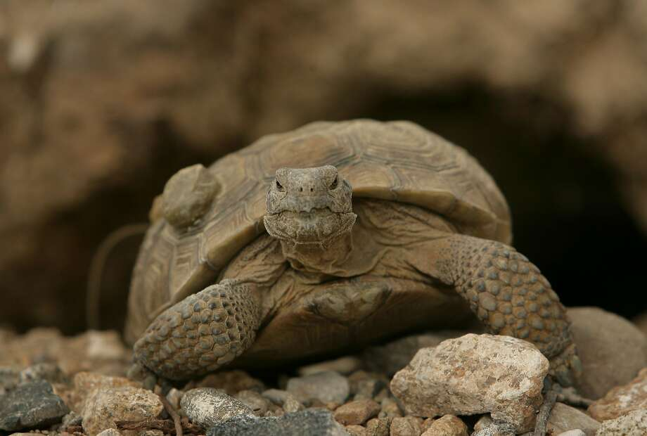 In this undated photo, a desert tortoise crawls in the Mojave National Preserve in San Bernardio County, Calif. The National Park Service says a proposed 6.5-square-mile solar development about a half-mile from the Mojave National Preserve would harm wildlife. (AP Photo/The Press-Enterprise, Stan Lim)  MAGS OUT; MANDATORY CREDIT Photo: Stan Lim, Associated Press