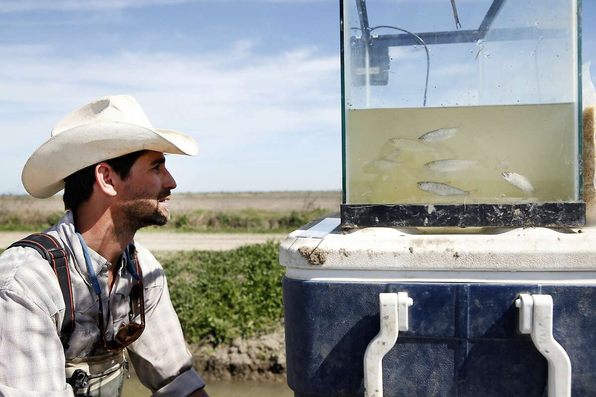 Jacob Katz, regional program manger for California Trout, looks at juvenile salmon swimming in a tank at Kanggs Ranch in Woodland, CA, Wednesday, March 19, 2014. The Knaggs Ranch experiment, where scientists from UC Davis, California Trout and California Department of Water Resources, raise juvenile salmon in flooded rice fields in the Yolo Bypass, had a third year of success producing big fish. The program is further proof that the strategic use of water can help stabilize salmon populations even during drought and that agricultural fields can be used to provide critical floodplain habitat for endangered salmon during the off-season.