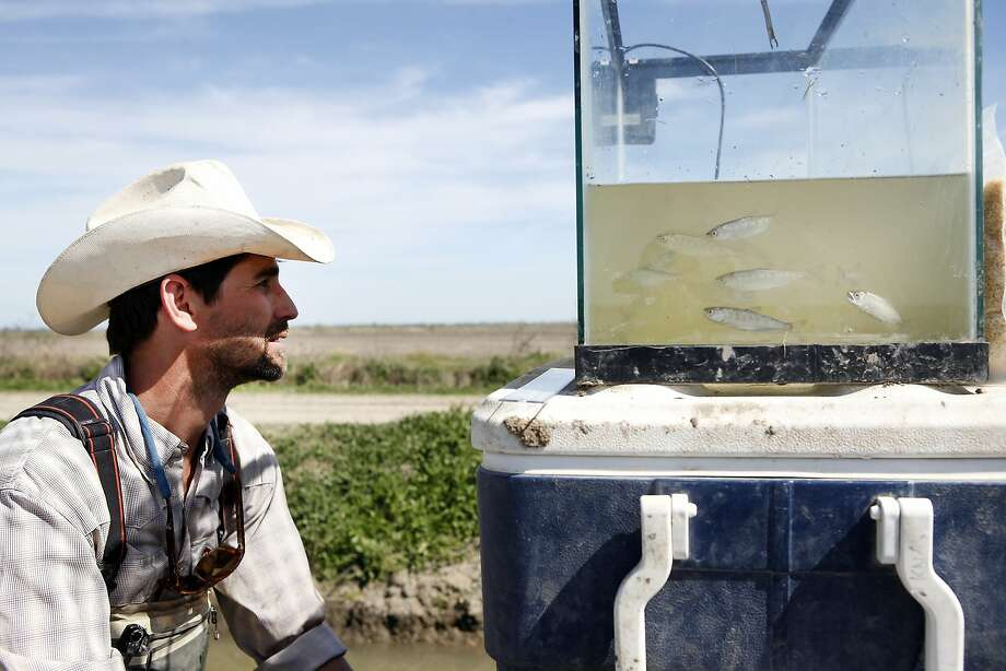 Jacob Katz of the group Cal Trout checks on juvenile salmon in a tank at Knaggs Ranch in Yolo County. Photo: Michael Short, The Chronicle