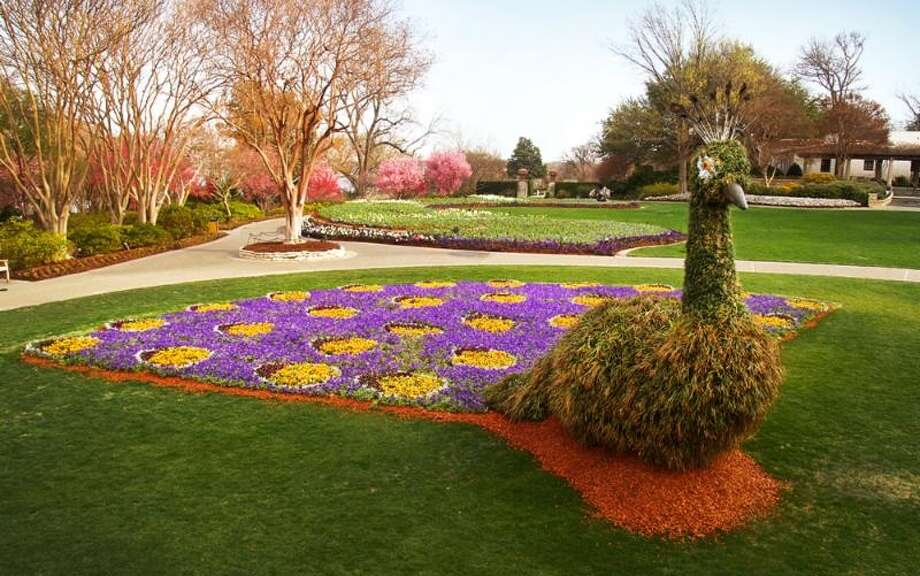 "The Dallas Arboretum partnered with the Dallas Zoo and Trinity River Audubon Center to host bird shows with the ""Birds in Paradise"" theme. The Jonsson Color Garden includes two 13-foot tall peacock topiaries. Photo: Courtesy Photo, Dallas Arboretum And Botanical Garden"