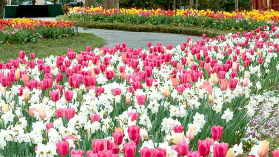 After a winter that hit cities like Dallas with a wallop or two, visitors to the Dallas Blooms exhibit will get to experience the beauty of spring flowers with some mild spring weather through Easter weekend (April 20). Photo: Courtesy Photo, Dallas Arboretum And Botanical Garden