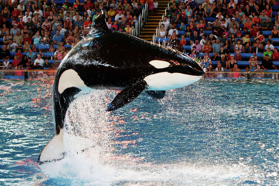 "A killer whale leaps into the air during the ""One Ocean"" killer whale show at SeaWorld San Antonio on June 10, 2011. Photo: MARVIN PFEIFFER, San Antonio Express-News / Prime Time Newspapers 2011"