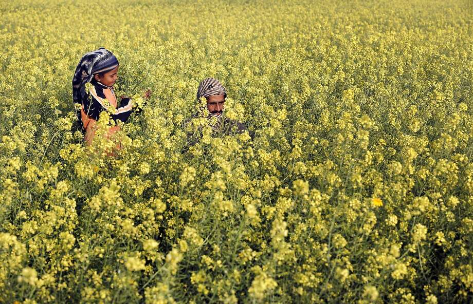 TOPSHOTS A Palestinian man and his daughter are seen amongst wild mustard flowers which grow in the untilled fields across the Gaza Strip, on March 20, 2014, as the official start of spring is marked by the by the Vernal Equinox.  AFP PHOTO/MOHAMMED ABEDMOHAMMED ABED/AFP/Getty Images Photo: Mohammed Abed, AFP/Getty Images