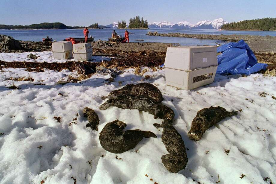 One baby and five adults oil-soaked sea otters lie dead on Green Island beach 03 April 1989 on Prince Williams Sound near Valdez more than a week after the beginning of an oil disaster which occurred when the tanker Exxon Valdez ran aground 24 March 1989 and spilled 11 million gallons of crude oil into Prince William Sound off Alaska. Photo: CHRIS WILKINS, AFP/Getty Images / AFP