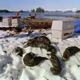 One baby and five adults oil-soaked sea otters lie dead on Green Island beach 03 April 1989 on Prince Williams Sound near Valdez more than a week after the beginning of an oil disaster which occurred when the tanker Exxon Valdez ran aground 24 March 1989 and spilled 11 million gallons of crude oil into Prince William Sound off Alaska.