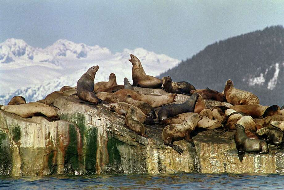 Sea lions sun themselves on oil polluted rock formation in Prince Williams Sound near Valdez more than a week after the beginning of an oil disaster which occurred when the tanker Exxon Valdez ran aground and spilled 11 million gallons of crude oil into Prince William Sound off Alaska. Photo: CHRIS WILKINS, AFP/Getty Images / 2013 AFP