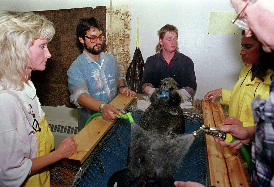 A rescued sea otter is restrained and washed by workers at a local animal facility after five of the oil covered mammals were captured in the fouled waters of Prince William Sound, Alaska, April 18, 1989.  The list of animals injured and killed from the spill of the oil tanker Exxon Valdez includes sea otters, deer, eagles, owls and a host of other water fowl gathered up by rescue workers. Photo: JOHN GAPS III, ASSOCIATED PRESS / AP1989