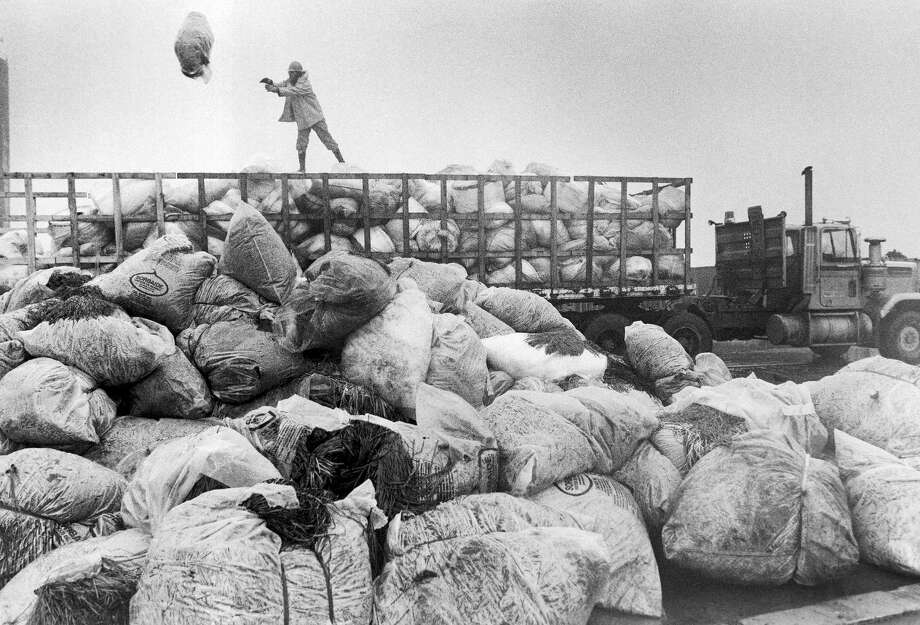 Jim Fenwick of Fairbanks Alaska throws another bag of oiled absorbent material onto an ever increasing pile at the container docks in Valdez, Sunday, Sept. 10, 1989. Oil soaked material and equipment are being removed from the beaches in Prince William Sound and being made ready for transport to Anchorage and other storage areas as the pull out date of September 15 approaches. Photo: Al Grillo, AP / AP