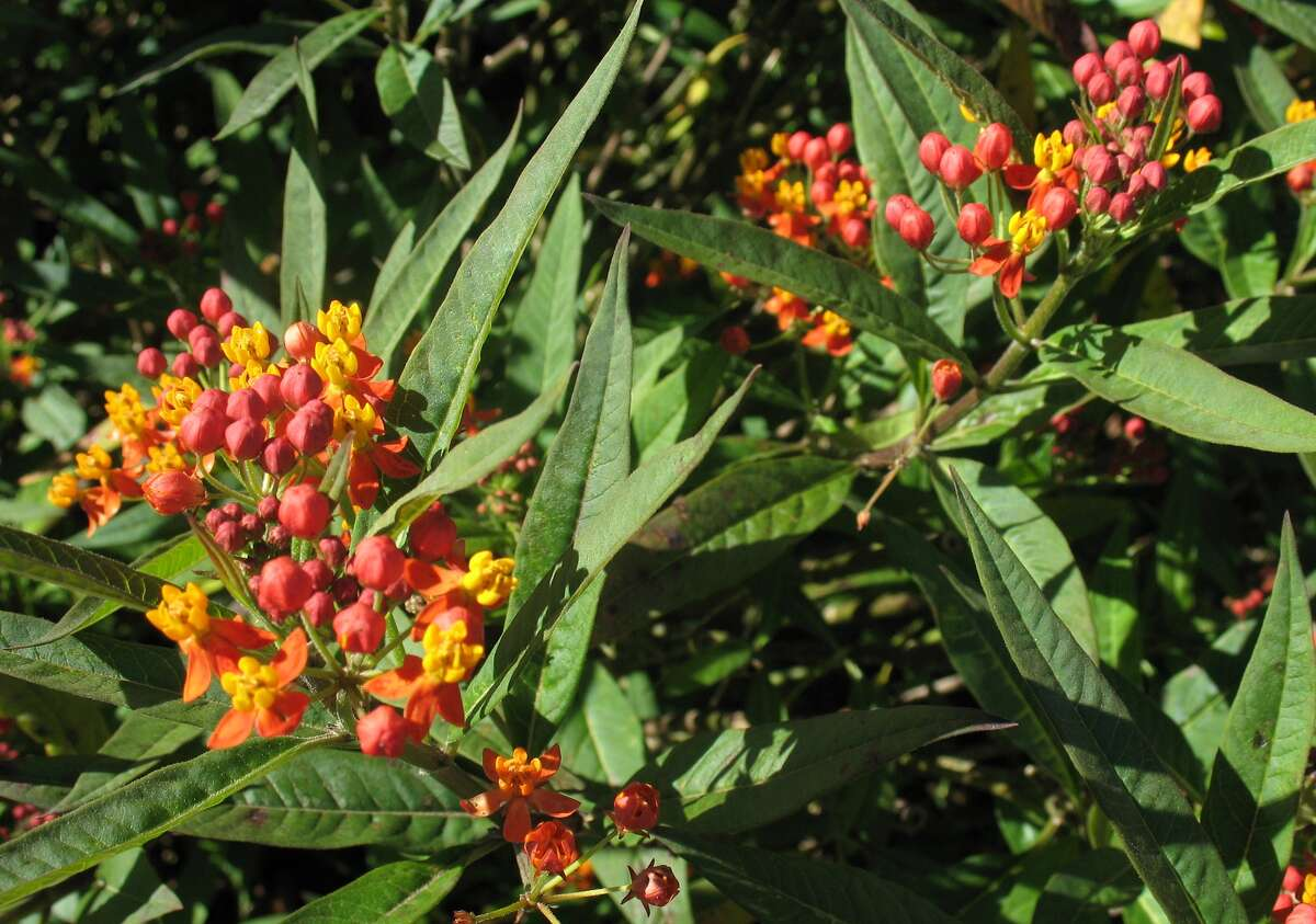 Mexican milkweed can return from seeds released from ripened pods last fall.