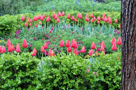 Tulips are a focal point in a Heights spring garden.