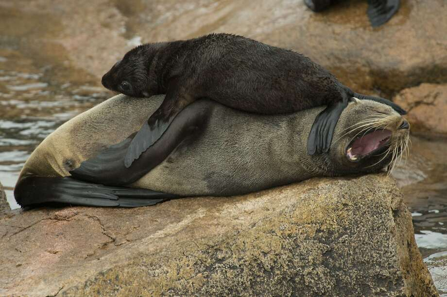 You're too big for this anymore!A plump pup plops on its fur seal mother at Isla de Lobos, a small island   about five miles off the coast of Punta del Este, Uruguay. Photo: Pablo Porciuncula, AFP/Getty Images