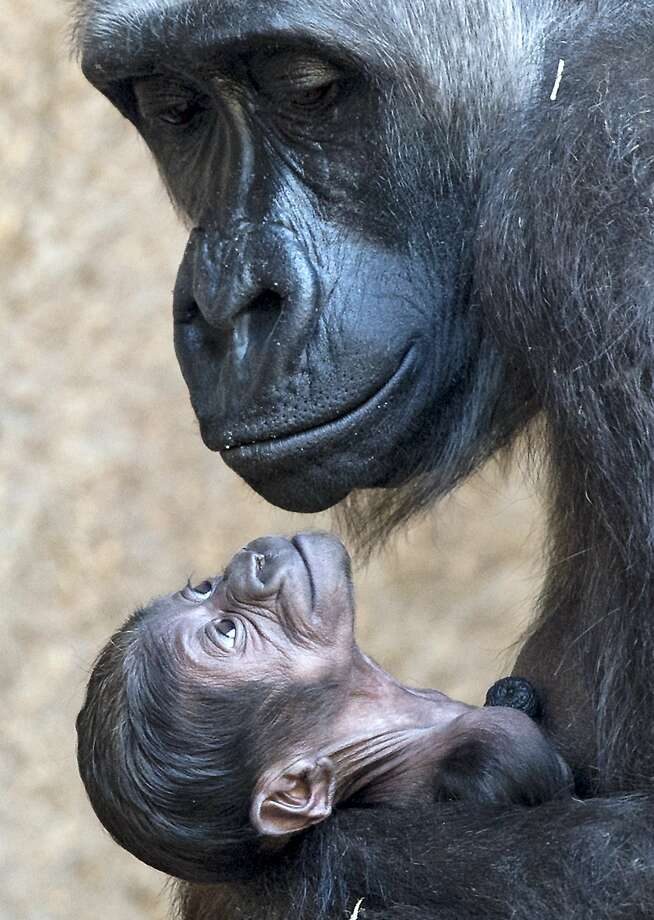 Kumili's baby has her mom's smile:The little gorilla was born 11 days ago at the zoo in 