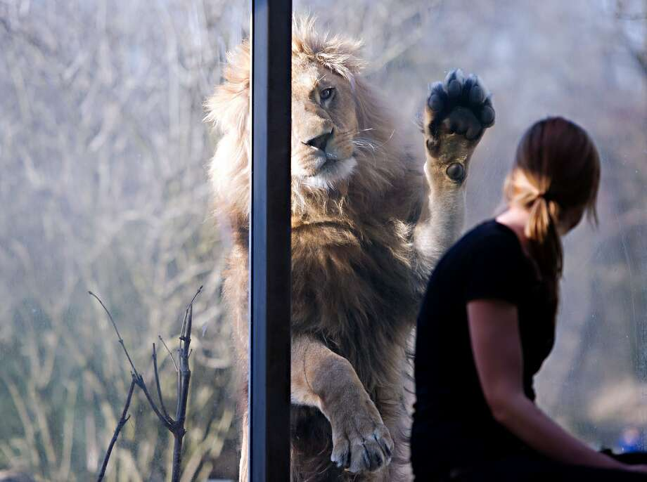 Excuse me ... pardon moi ... hey, you!Max paws the window in an effort to get a zookeeper's attention at the Hellabrunn Zoo in Munich. Photo: Nicolas Armer, AFP/Getty Images