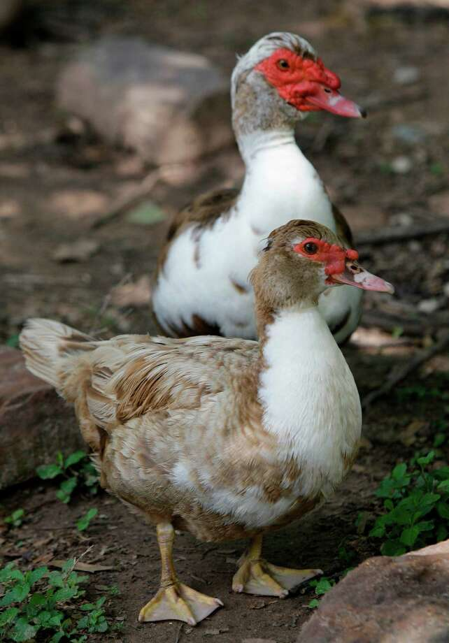 Muscovy ducks at the Crazy K Farm, 28384 Mellman Road, Tuesday, April 20, 2010, in Hempstead owner Tobi Kosanke is concerned over the muscovy duck being put onto the List of Migratory Birds protected under the Migratory Bird Treaty Act  The U.S. Fish and Wildlife Service is reconsidering a recently enacted migratory bird law that banned individuals outside a small area in south Texas from keeping or raising muscovies. She rescues the moscovy ducks and also sell their eggs. ( Melissa Phillip / Houston Chronicle ) Photo: Melissa Phillip, Staff / Houston Chronicle
