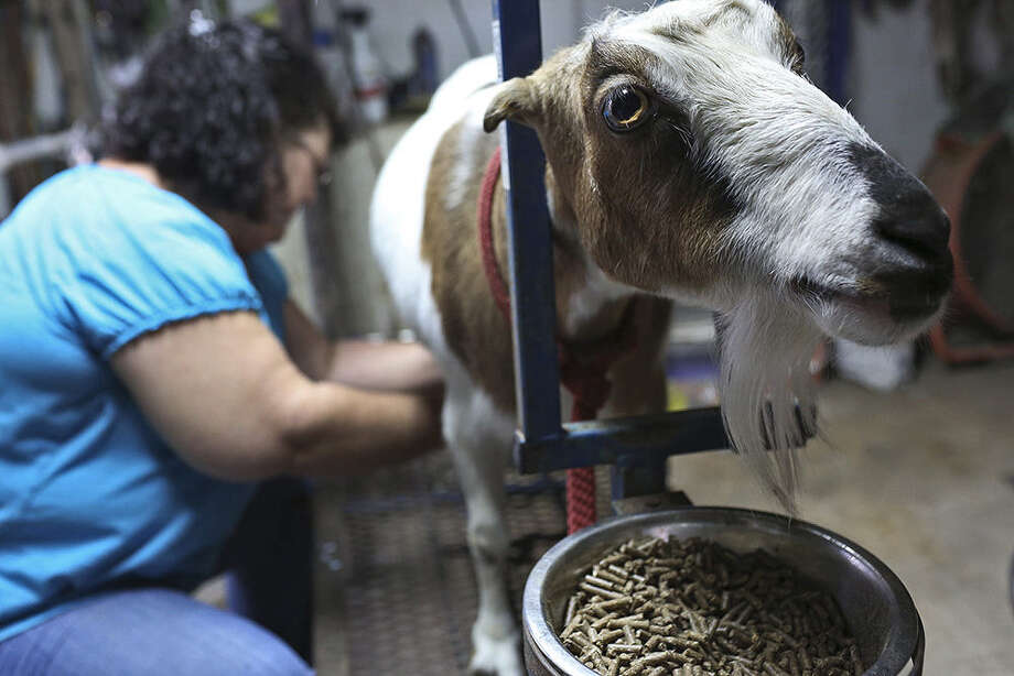 Luanna Burns milks Amber, one of her goats who is fed soy-free/nongenetically modified food, at her home in New Berlin. Photo: Lisa Krantz / San Antonio Express-News / San Antonio Express-News