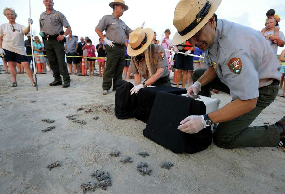 National Park Service employees release Kemp's ridley sea turtle hatchlings at Padre Island National Seashore. U.S. Fish and Wildlife will stop funding the program after this year. Photo: File Photo / San Antonio Express-News / © 2012 San Antonio Express-News