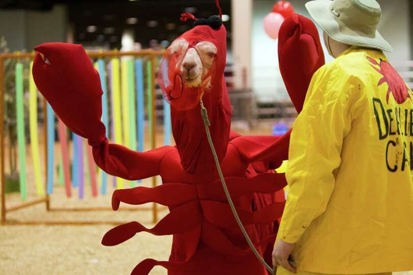 Cody Carroll, 17, of Corsicana walks his llama called White Locks dressed as a lobster for the Youth
