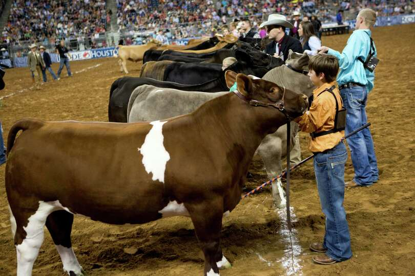The Grand Champion Steer of Show competitors align on the Reliant Stadium dirt waiting for the judge