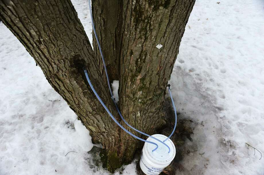 A maple tree is tapped for sap during a tour on Saturday, March 22, 2014, at Sugar Oak Farms in Malta, N.Y. The Maple Open House Weekends, put on by the Upper Hudson Maple Producers Association, continues Sunday and next weekend from 10 a.m. to 4 p.m. each day, allowing the public to take a free tour of area sugarhouses. (Cindy Schultz / Times Union) Photo: Cindy Schultz / 00026217A