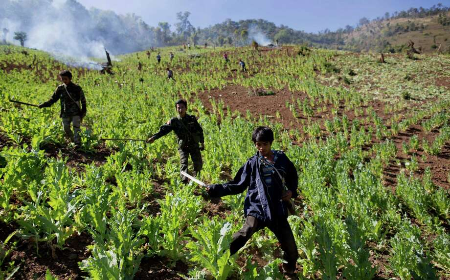 In this Jan. 30, 2014, photo, volunteers and Taang rebels destroy a poppy field close to Loi Chyaram village, a Taang self-governing area in northern Shan state, Myanmar. It's unclear whether the rebels troops who rely on the drug trade as their main source of income can or will do more than just wipe out a few fields here and there to placate villagers desperate over the toll drugs are taking. Photo: Gemunu Amarasinghe, AP / AP2014