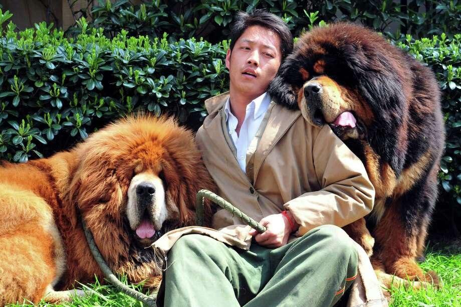 In this photo taken Tuesday March 18, 2014, a Chinese man working for a dog breeder bids farewell to two Tibetan mastiffs he had been caring for outside a hotel in Tongxiang city in east China's Zhejiang province.  A Chinese dog breeder said Thursday that a property developer paid him 18 million yuan ($3 million) for the Tibetan mastiff twins, highlighting how the breed has become a status symbol for China's rich. One of the twins - a golden-haired Tibetan mastiff - was sold for $12 million yuan, and his red-haired brother went for $6 million yuan. (AP Photo)  Photo: Uncredited, AP / AP2014