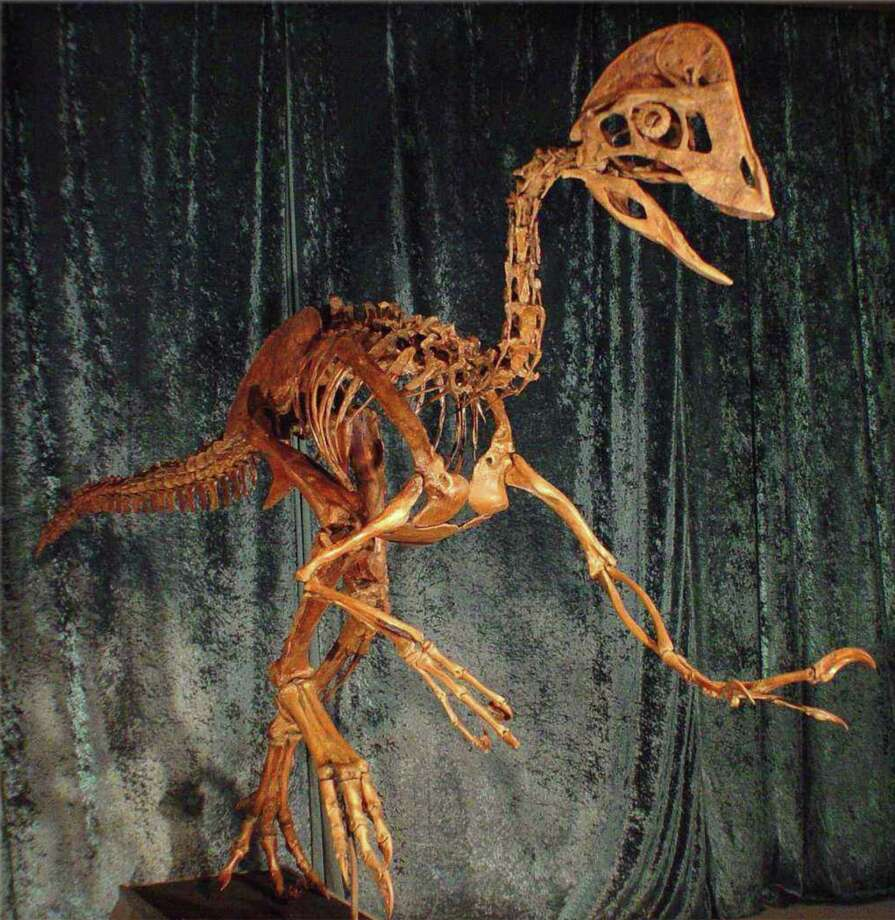 "This undated photo provided by the Carnegie Museum of Natural History on March 18, 2014 shows a reconstruction of the skeleton of the dinosaur Anzu wyliei. The birdlike animal, about 7 feet tall, weighed an estimated 500 pounds when it roamed western North America around 66-68 million years ago. Nicknamed the ""chicken from hell,"" the creature was formally introduced with an official name to the scientific community Wednesday, March 19, 2104 as scientists published a description and analysis of its anatomy. Photo: Uncredited, AP / AP2014"