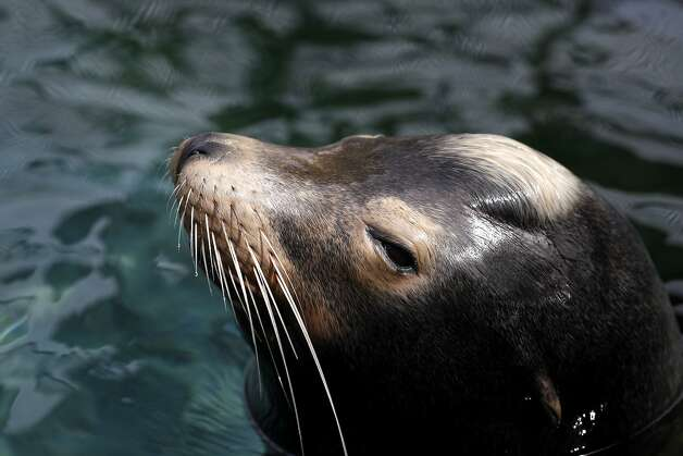 Sea lion Blarney McCresty recuperates at the Marine Mammal Center in Sausalito. Photo: Lacy Atkins, The Chronicle