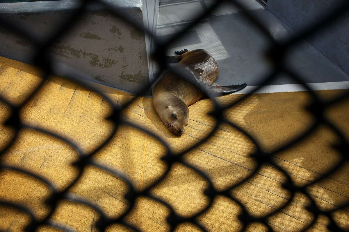 Hobor, a California sea lion with domoic acid poisoning lays lethargic in his pin, Thursday March 20, 2014, at the Marine Mammal Center, in Sausalito, Calif.