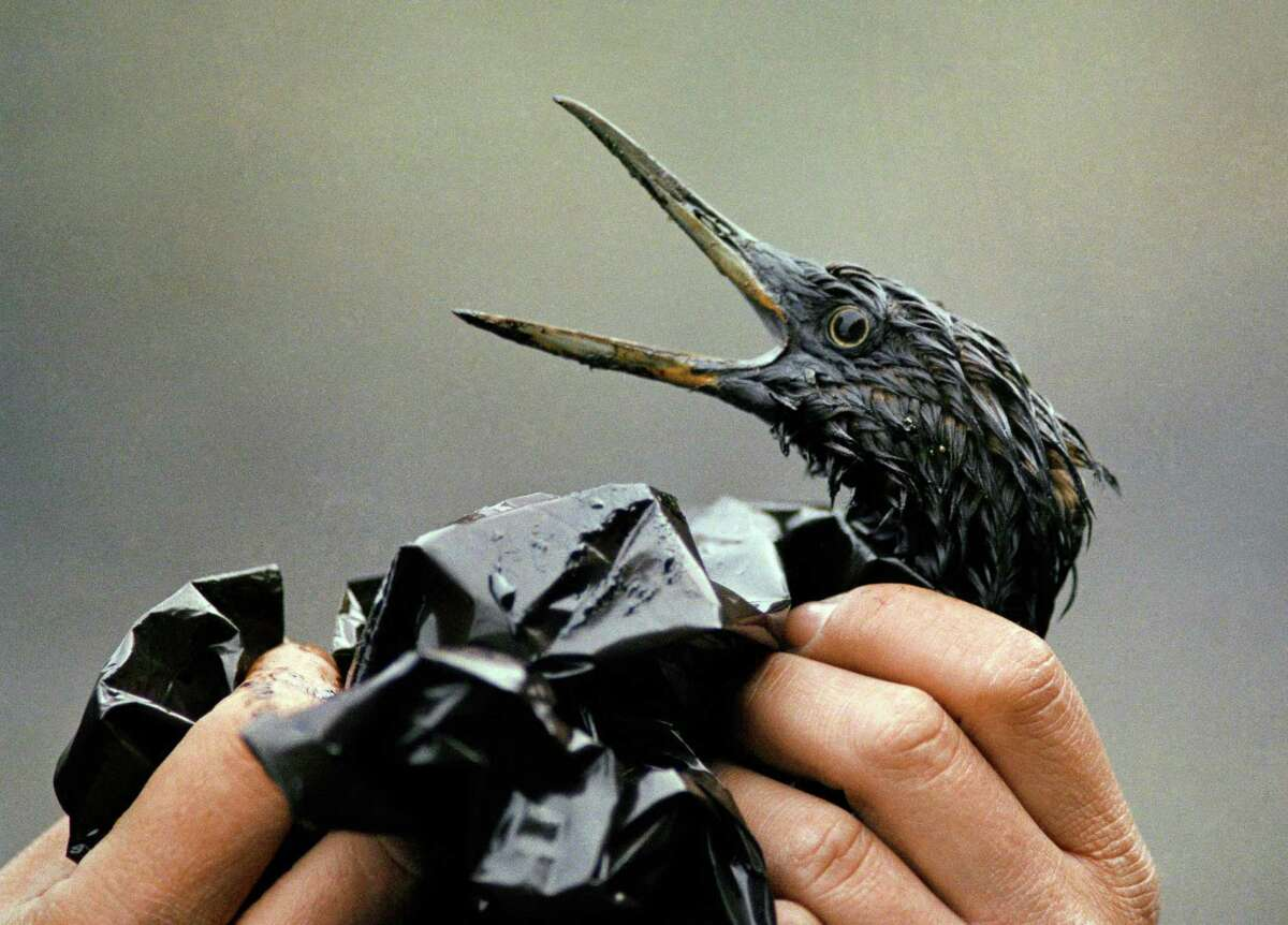 An oil soaked bird is examined on an island in Prince William Sound, Alaska. Exxon Mobil Corp. was ordered in 2009 to pay about $500 million in interest on punitive damages for the Exxon Valdez oil spill off Alaska, nearly doubling the payout to Alaska Natives, fishermen, business owners and others harmed by the 1989 disaster.