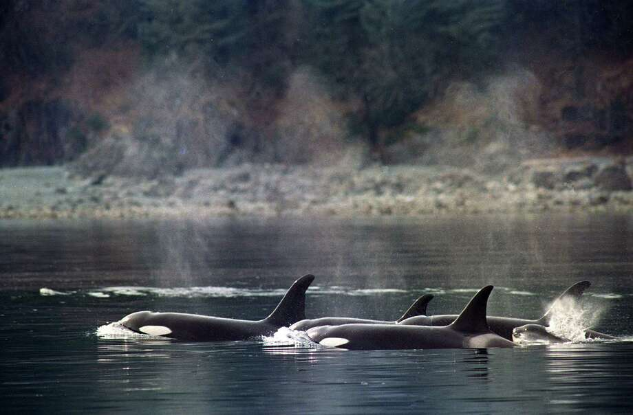 Killer whales break the surface of the waters of Montague Straight on Prince William Sound, swimming through slicks of crude oil left over from the spill of the tanker Exxon Valdez. Photo: JOHN GAPS III, ASSOCIATED PRESS / AP1989