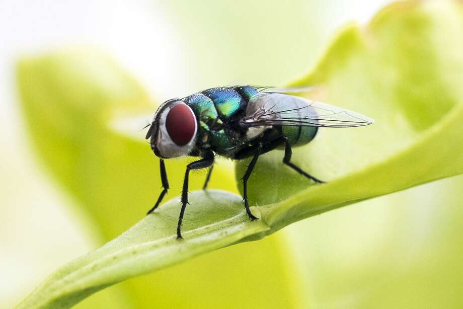A picture taken on March 23, 2014 shows a green fly on a lemon tree branch in the Israeli Mediterranean coastal city of Netanya. AFP PHOTO / JACK GUEZJACK GUEZ/AFP/Getty Images Photo: Jack Guez, AFP/Getty Images