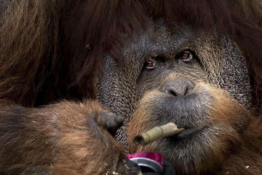 "Trying to cut down: Mushon the orangutang ""puffs"" on a piece of bamboo at Tel Aviv   Ramat Gan Zoological Center. Photo: Ariel Schalit, Associated Press"
