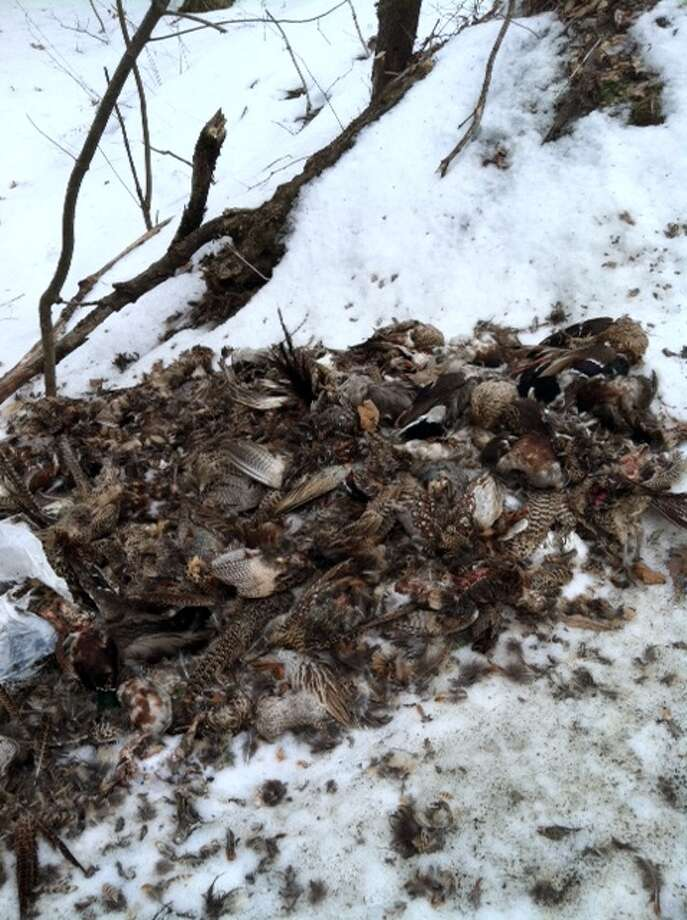 Dead waterfowl piled up in Nassau, N.Y., includes geese, ducks and pheasants. (Photo provided by David Fleming, Nassau town supervisor) Photo: Picasa