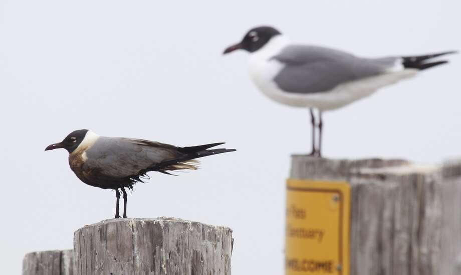 An oiled Laughing Gulls shown left sits next to one without oil at the Bolivar Flats Shorebird Sanctuary Monday, March 24, 2014 in Bolivar. Officials with the Houston Audubon Society said the oiled bird would mostly likely not survive. It cannot be captured and by the time it is weak enough to be caught it is too late.  (Melissa Phillip / Houston Chronicle) Photo: Melissa Phillip, Houston Chronicle