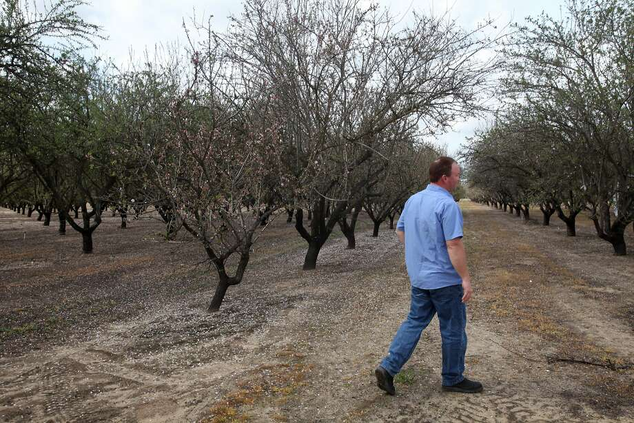 Parched almond orchard in Merced County. Photo: Leah Millis, The Chronicle