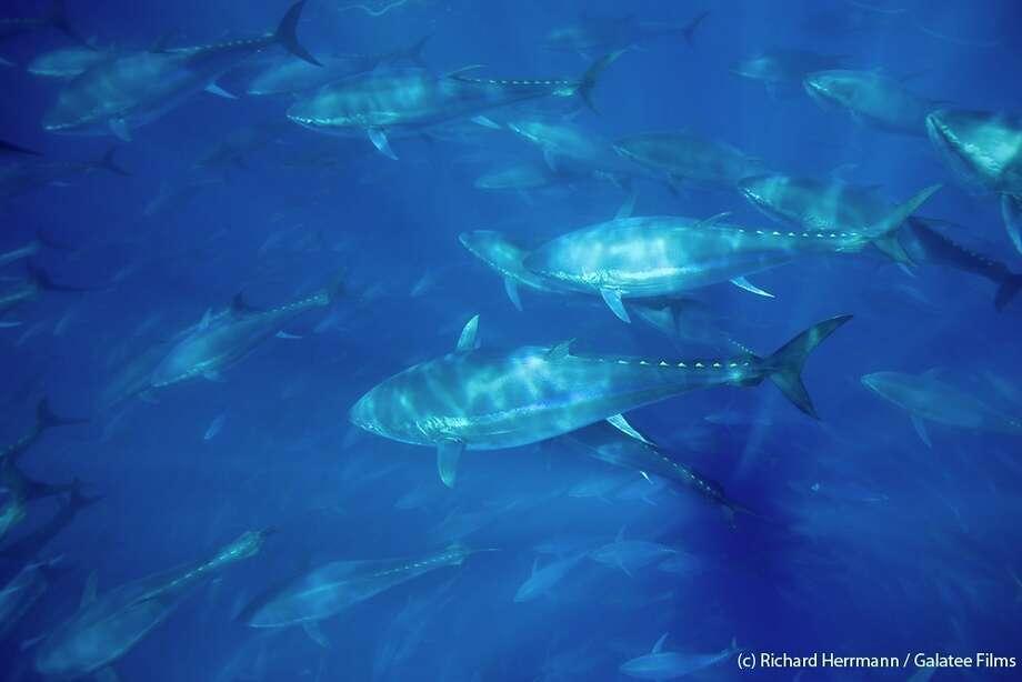 Bluefin tuna are shown off the Turkey coast. Photo: Richard Herrmann, Galatee Films / (c) Richard Herrmann / Galatee Films