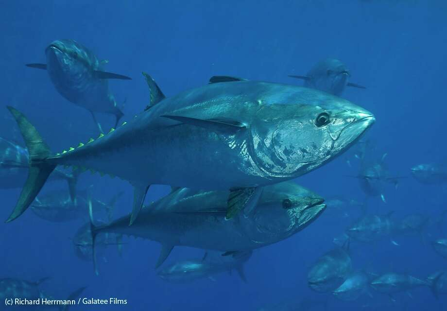 Bluefin tuna are shown off the Turkey coast. Photo: Richard Herrmann, Galatee Films / (c) Richard Herrmann / Galatee Films