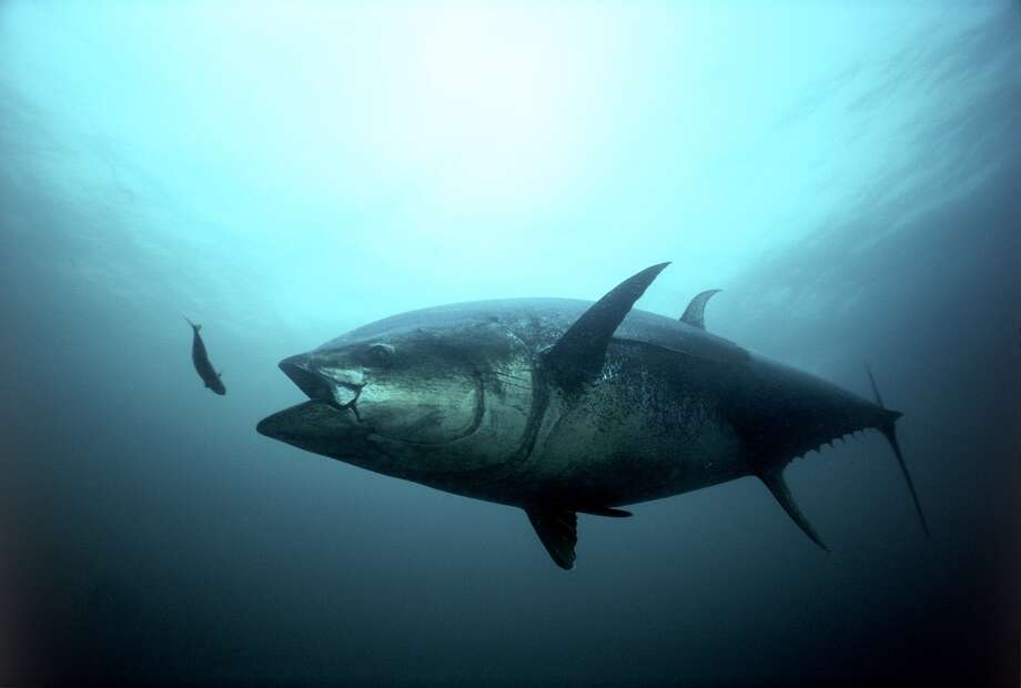 An Atlantic bluefin tuna strikes. Photo: Gilbert Van Ryckevorsel, TAG A Giant