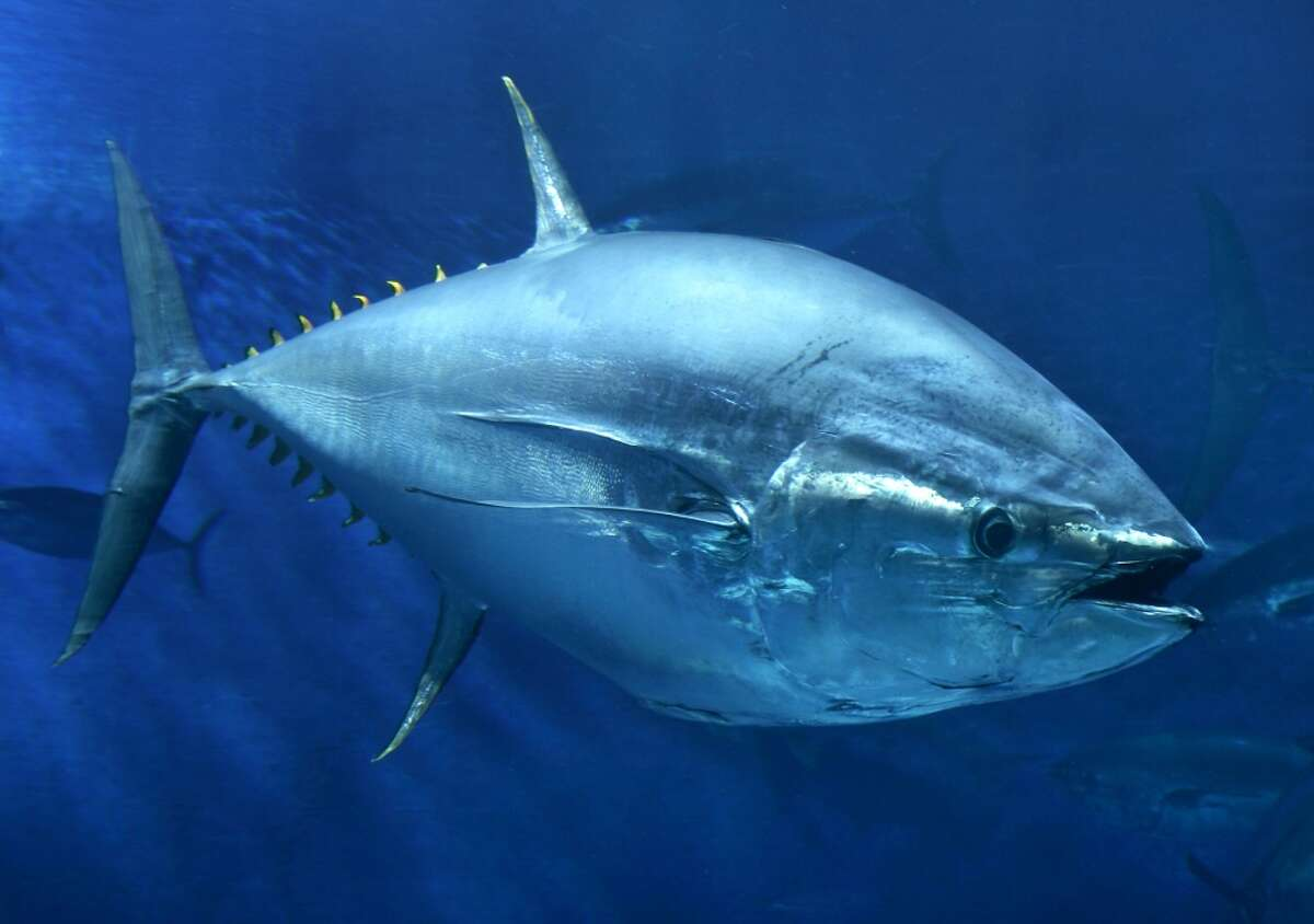 FILE-- A Pacific bluefin tuna. The world's Pacific bluefin tuna won something of a reprieve Friday, when tuna-fishing countries reached an agreement to gradually rebuild severely depleted stocks while still allowing nations like Japan to catch and consume the delicacy.
